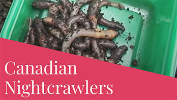 Canadian Nightcrawlers: All You Need to Know