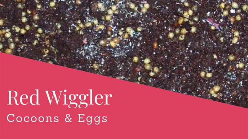 Red Wiggler Worm Cocoons and Eggs: Appearance & Life Cycle
